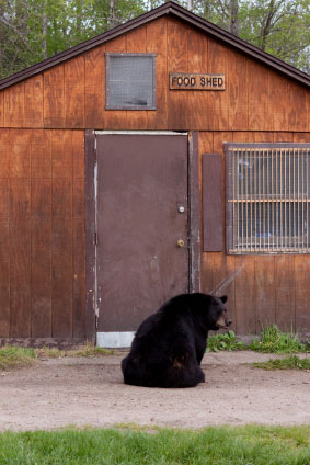 10 Ways To Avoid Black Bear Conflicts On Your Rural
