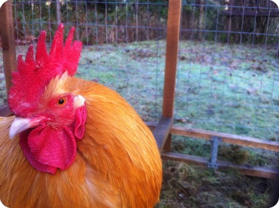 Post image for Chickens and Cockerels: How to Add a Rooster to Your Flock