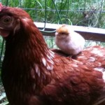 hens-raising-chicks-3