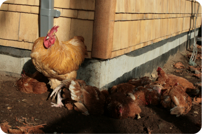 Post image for How to Create a Chicken Dust Bath for Winter Bathing