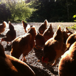 chickens-in-sun